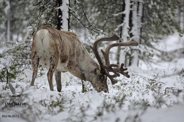 Ren Rentier Rangifer tarandus Reindeer 0072