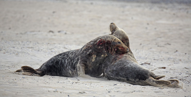 Kegelrobbe,Grey Seal,Halichoerus grypus 0178