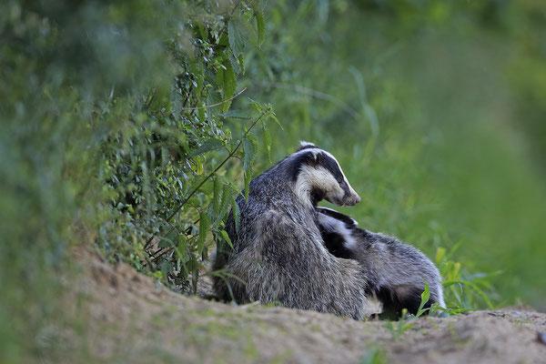 Dachs European Badger Meles meles 0016