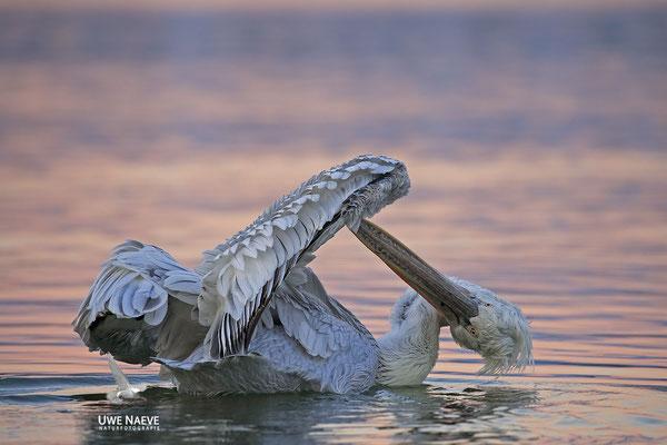 Krauskopfpelikan,Dalmatien pelican,pelecanus crispus 0102