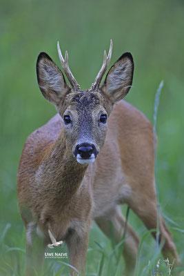 Rehbock,Capreolus capreolus,Roe Deer buck 0254