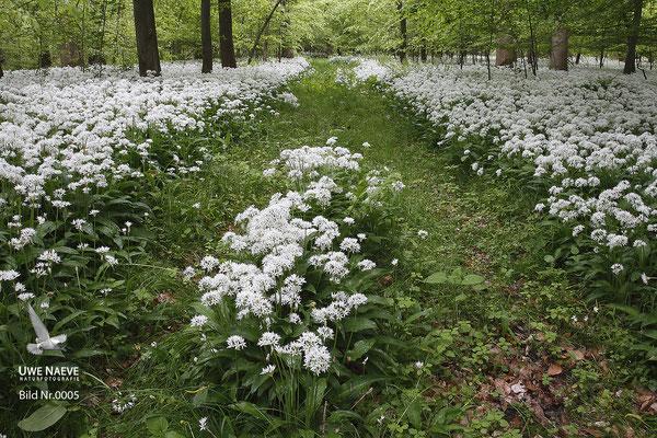 Bärlauch,Baerlauch,Allium ursinum