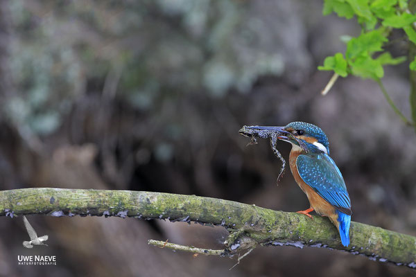 Eisvogel,Alcedo atthis,River King fisher 0057