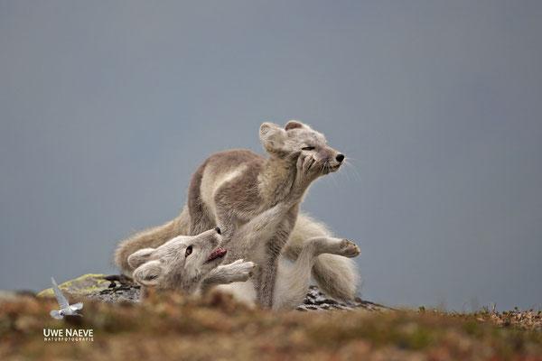 Polarfuchs,Eisfuchs,Arctic Foxes,Alopex lagopus,Vulpex lagopus 0099