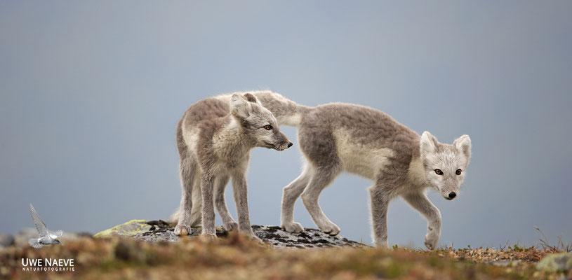 Polarfuchs,Eisfuchs,Arctic Foxes,Alopex lagopus,Vulpex lagopus 0097