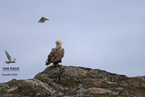 Seeadler ,Haliaeetus albicilla,Sea eagle
