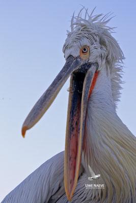 Krauskopfpelikan,Dalmatien pelican,pelecanus crispus 0051