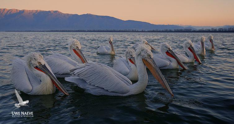 Krauskopfpelikan,Dalmatien pelican,pelecanus crispus 0077