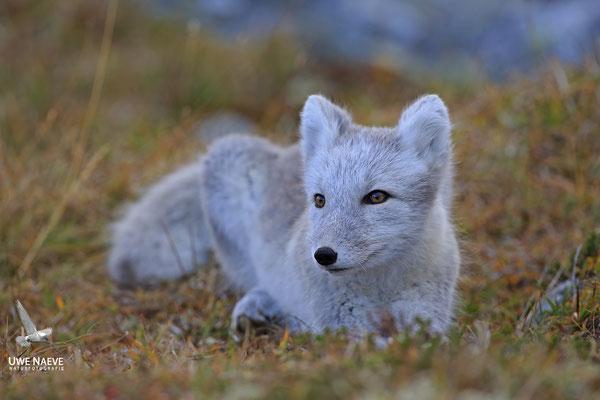 Polarfuchs,Eisfuchs,Arctic Foxes,Alopex lagopus,Vulpex lagopus 0079