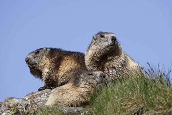Alpenmurmeltier,Marmota,Marmot 0033