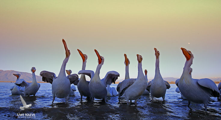 Krauskopfpelikan,Dalmatien pelican,pelecanus crispus 0026