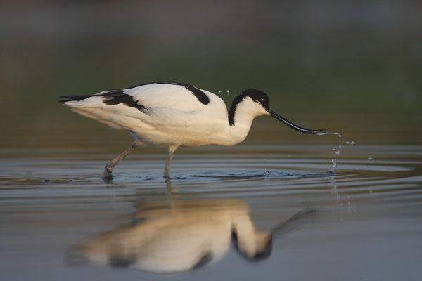 Säbelschnäbler,Recurvirostra avosetta,Avocet 24