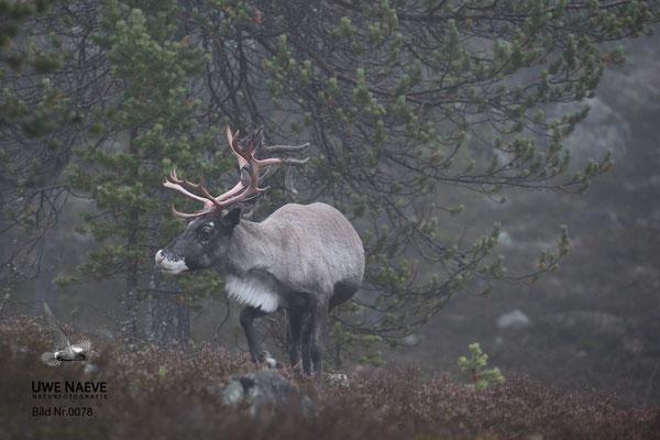Ren Rentier Rangifer tarandus Reindeer 0078