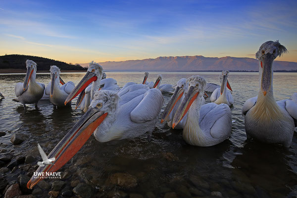 Krauskopfpelikan,Dalmatien pelican,pelecanus crispus 0025
