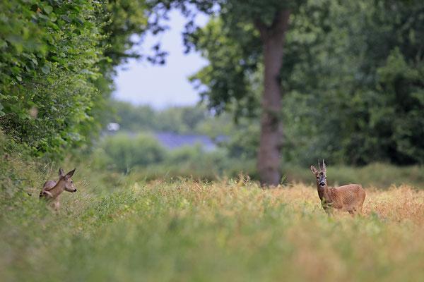 Rehbock,Capreolus capreolus,Roe Deer buck 0258