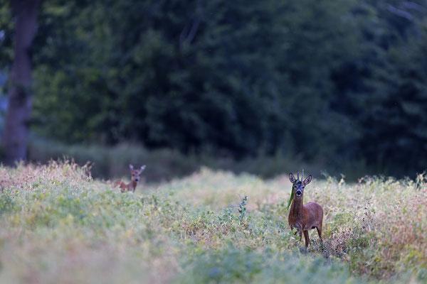 Rehbock,Capreolus capreolus,Roe Deer buck 0256