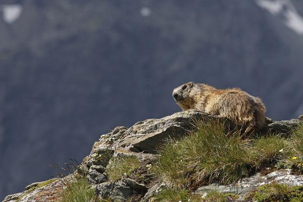 Alpenmurmeltier,Marmota,Marmot 0007