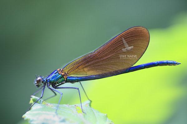 Blaufluegel Prachtlibelle Maennchen Calopteryx Virgo meridionalis 0011