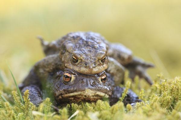 Erdkroete,Bufo bofo,Cammon Toad 0013