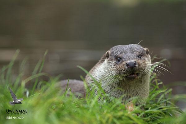 Fischotter,Otter,Lutra lutra 0079