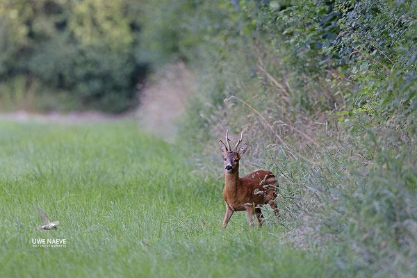 Rehbock,Capreolus capreolus,Roe Deer buck 0247