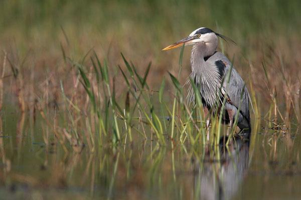Kanadareiher, Great bleu Heron,Adrea herdias 01077