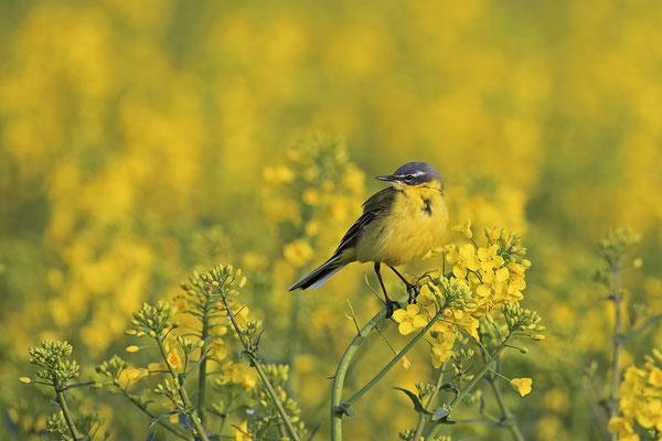 Schafstelze,Western Yellow Wagtail,Motacilla flara 0007