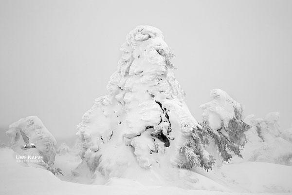 Harz, Brocken,Fichtenwald im Winter 8707