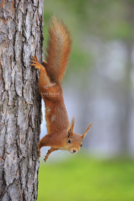 Eichhoernchen,Sciurus vulgaris,Red Squirrel 0014