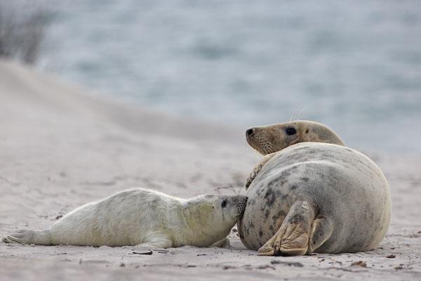 Kegelrobbe,Grey Seal,Halichoerus grypus 0174