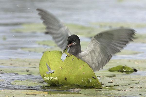 Trauerseeschwalbe,Black Tern,Chlidonias niger 0027