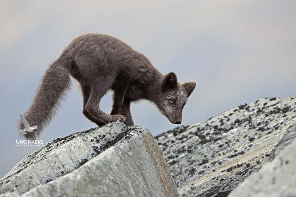Polarfuchs,Eisfuchs,Arctic Foxes,Alopex lagopus,Vulpex lagopus 0087