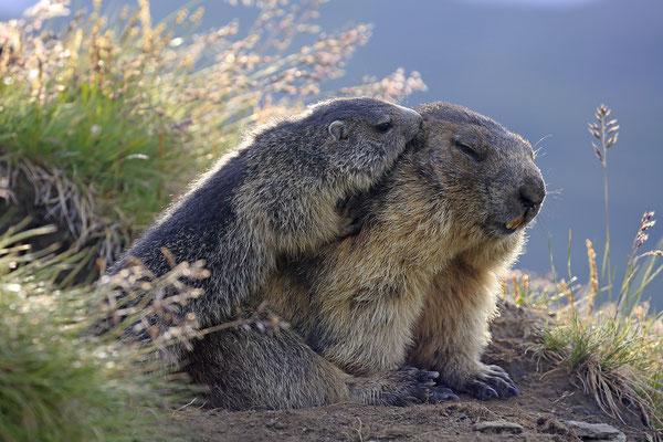 Alpenmurmeltier,Marmota,Marmot 0099