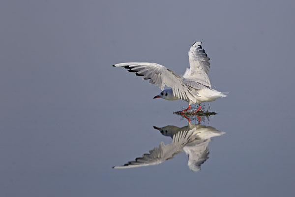 Lachmoewe ,Larus ridibundes,Black-headed Gull 0056