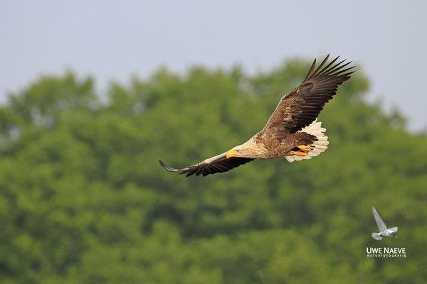 Seeadler ,Haliaeetus albicilla,Sea eagle 0110