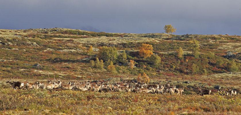 Ren Rentier Rangifer tarandus Reindeer 0094