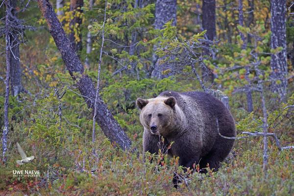 Braunbaer Ursus arctos brown bear 0058