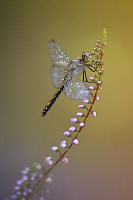 Schwarze Heidelibelle Weibchen Sympetrum danae 0030