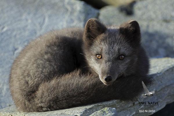 Polarfuchs,Eisfuchs,Arctic Foxes,Alopex lagopus,Vulpex lagopus 0050