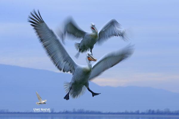 Krauskopfpelikan,Dalmatien pelican,pelecanus crispus 0022