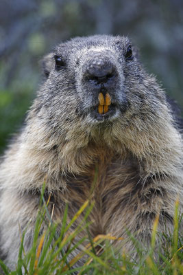 Alpenmurmeltier,Marmota,Marmot 0027