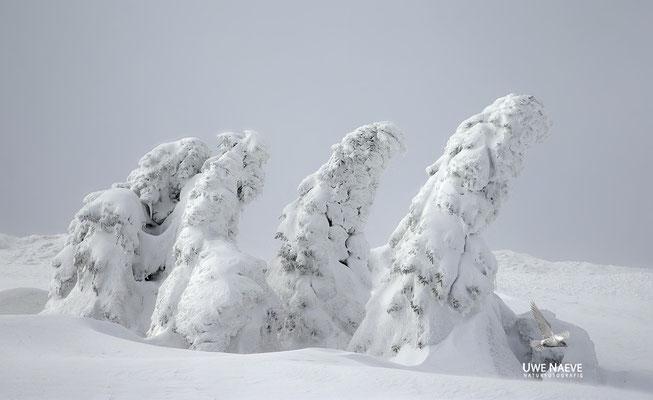 Harz, Brocken,Fichtenwald im Winter 8877