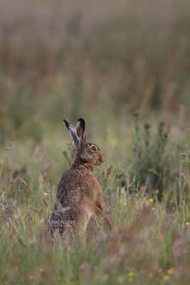 Feldhase Brown Hare Lepus europanus 0017