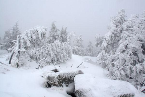 Harz, Brocken ,Fichtenwald im Winter 0917