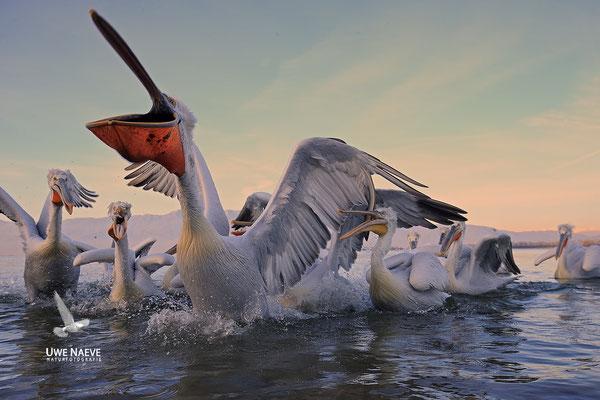 Krauskopfpelikan,Dalmatien pelican,pelecanus crispus 0075
