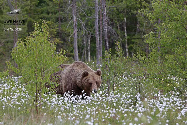 Braunbaer Ursus arctos brown bear 0038