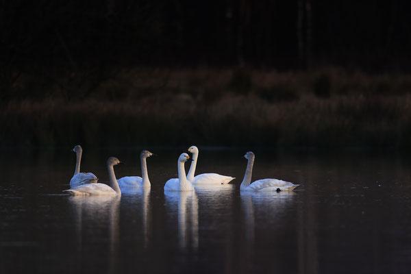 Zwergschwaene,Cygnus bewickii,Bewicks Swan 0063