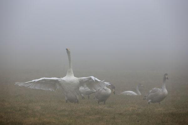 Singschwan,Whooper Swan,Cygnus cygnus 0061