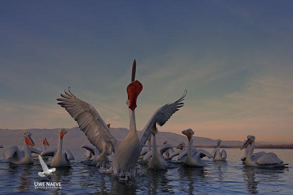 Krauskopfpelikan,Dalmatien pelican,pelecanus crispus 0074