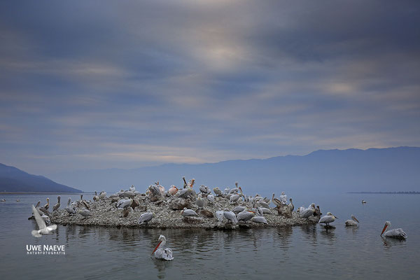 Krauskopfpelikan,Dalmatien pelican,pelecanus crispus 0040